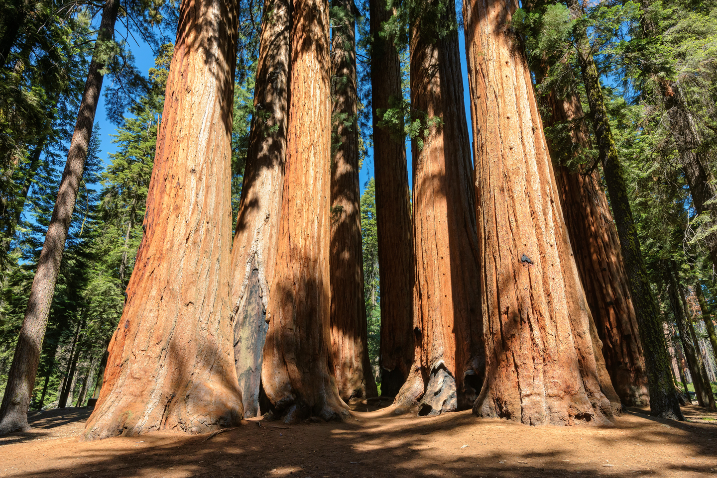 Giant sequoia trees in national park